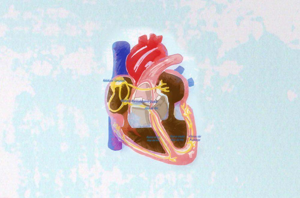 Funcionamiento corazón